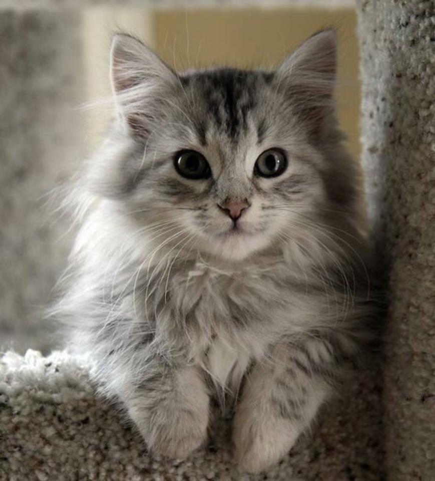 Cute Kittens Cats Pinterest Cat, Grey kitten and Animal