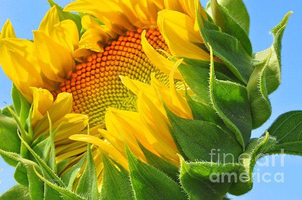"Sunflower Portrait.  A beautiful, bold image of a sunflower that is seeks the sun as its petals unfurl.    Click on the ""Visit"" button for details. #NewJerseyBest #LoveNewJersey #NJArtforyou #NewJerseyBeauty #NewJerseyArtPrints #NJCountryside #NJLandscape #NJsummer #sunflowerupclose #NJsunflowers  #sunflowerportrait #yellowflowers #yellowfloralart #yellowcolor"