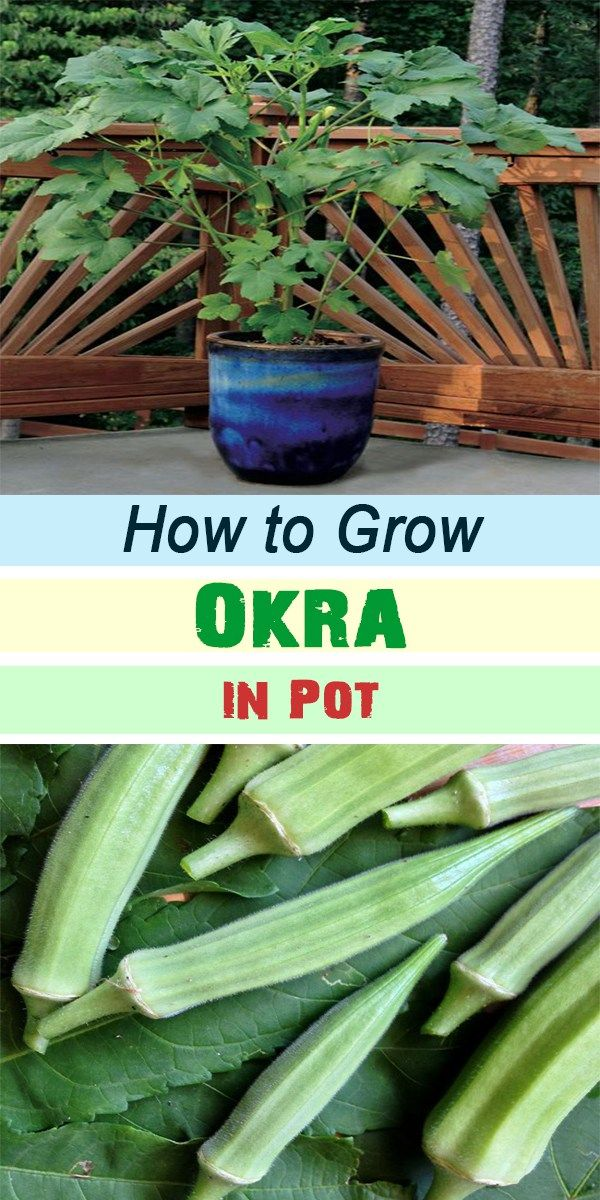 How To Grow Okra In P*T Growing Vegetables Growing Okra 640 x 480