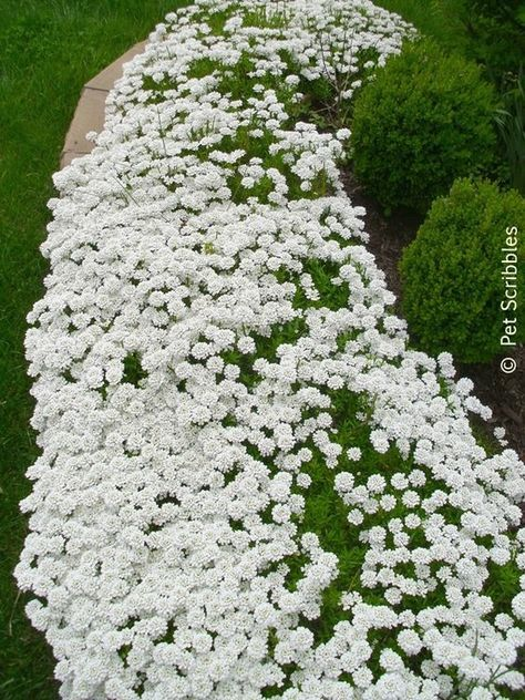 Candytuft A Garden Must Have Live Creatively Inspired Evergreen Plants Perennial Ground Cover Garden Inspiration