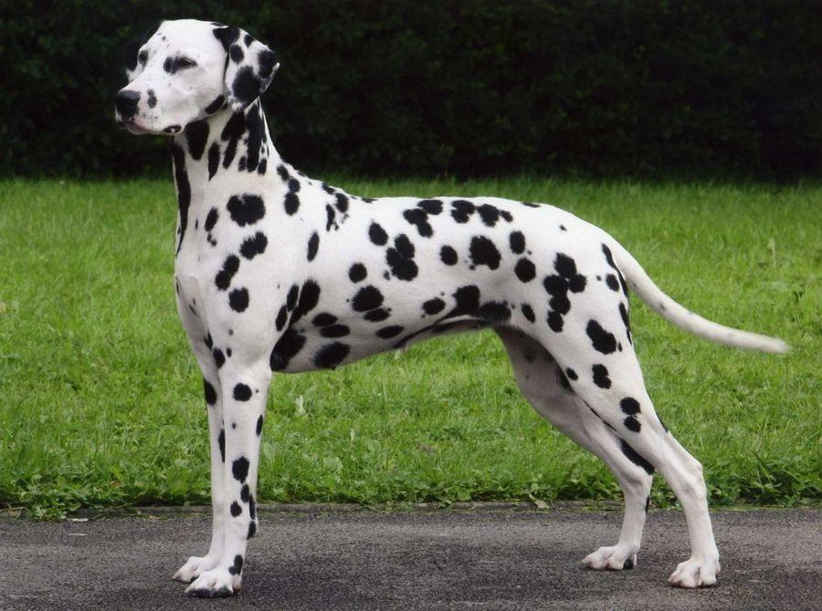 Картинки пятнистые собаки
