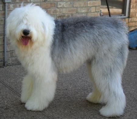 Buster the Old English Sheepdog