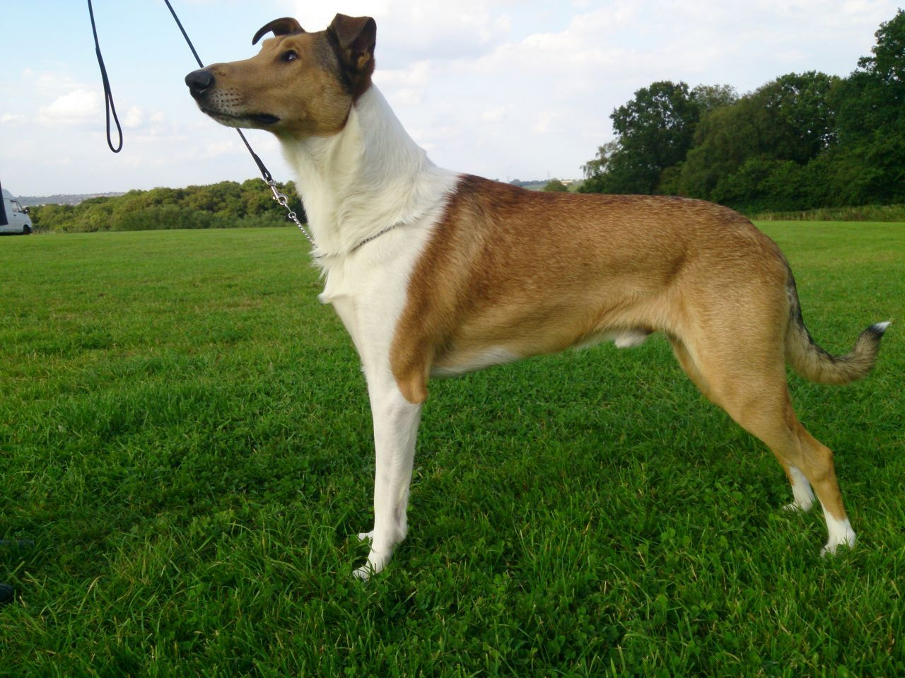 Smooth Collie Sable And White Dog Pedigree Kc Reg Smooth Collie