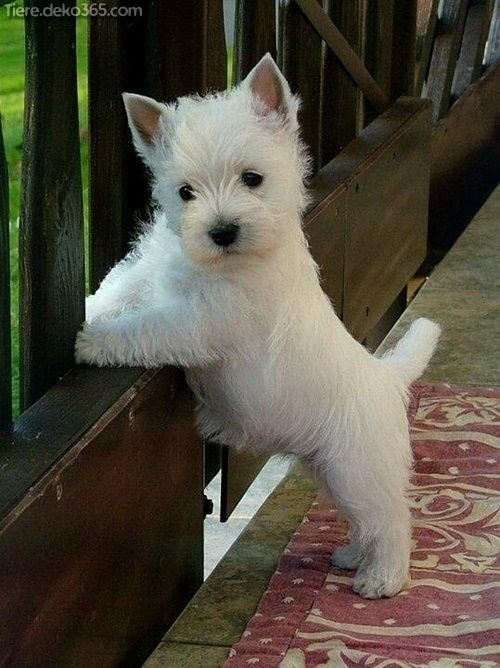 Photo of Great Best Westie Dog Pictures