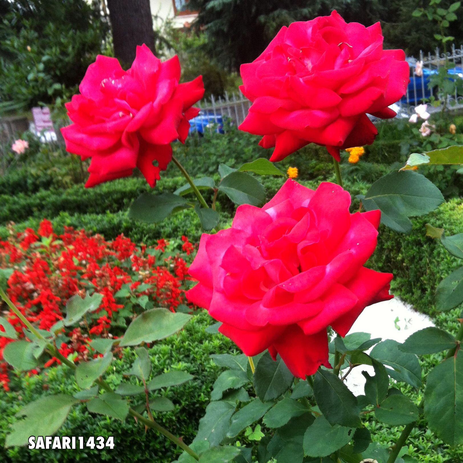 تصويري لاجمل ورده في حديقة قصر مصطفى كمال اتاتورك في طربزون في تركيا Plants Rose Flowers
