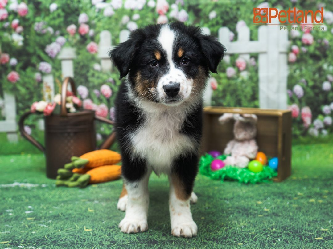 Petland Florida has Australian Shepherd puppies for sale