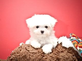 Buy Our Teacup Maltese Puppy For Adoption 8 Week Old Maltese