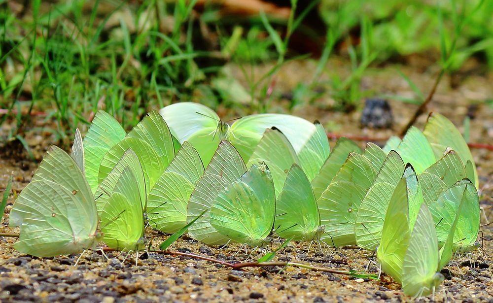 Flowering Plant Milkweed, Asclepias, Plants