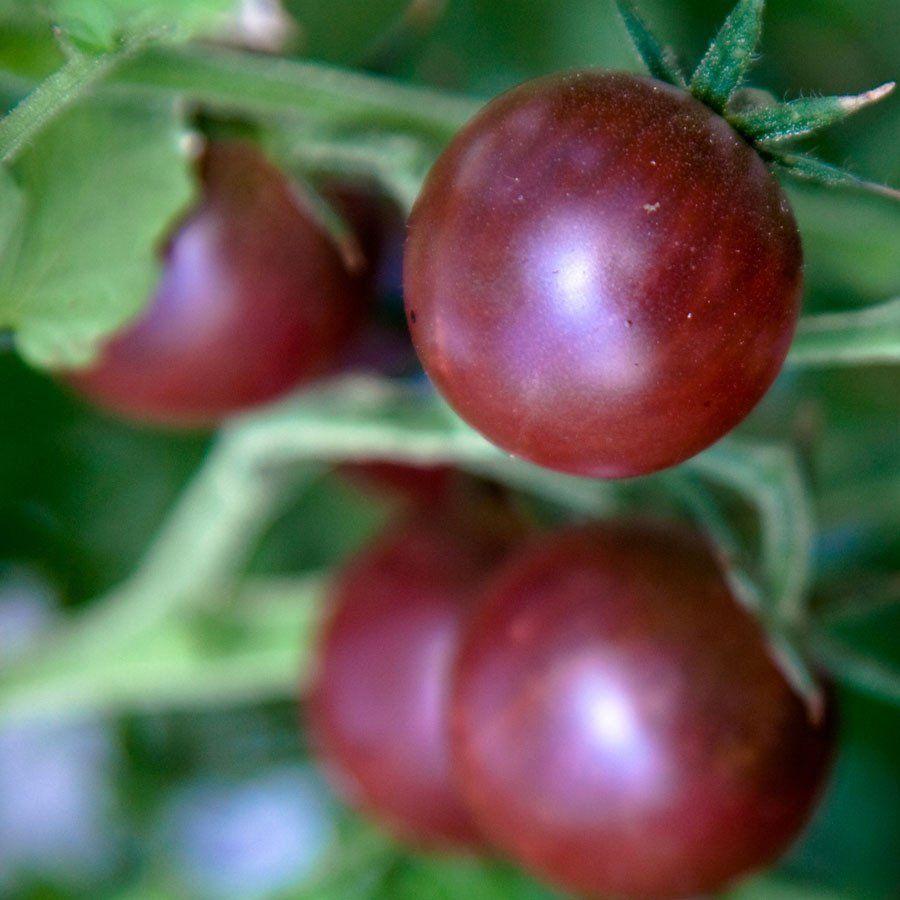 Black Cherry Tomato Heirloom Tomatoes Black Cherry 400 x 300