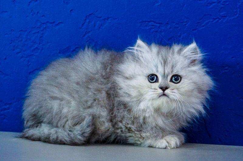 Pin By Amber Burns On Ragdoll Kittens Kittens Cutest Munchkin Kitten Munchkin Cat