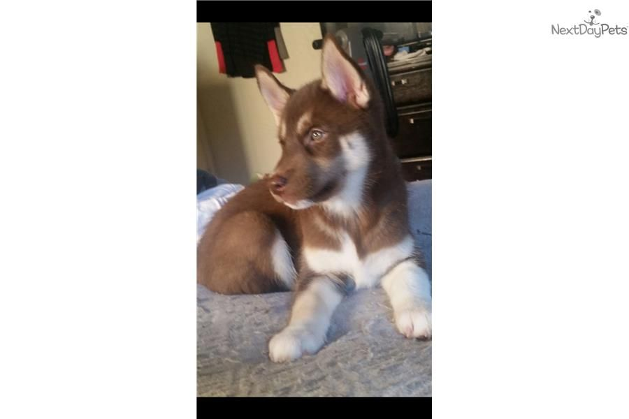 Siberian Husky Puppy For Sale Near Redding California Af35dc57
