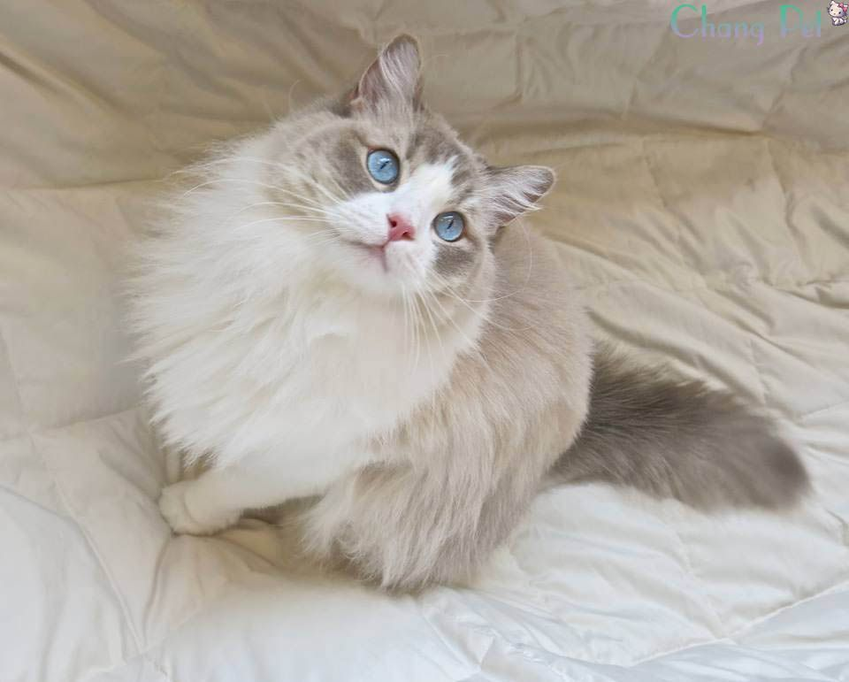 Most Up To Date Pictures Ragdoll Cats Price Ideas The Massive