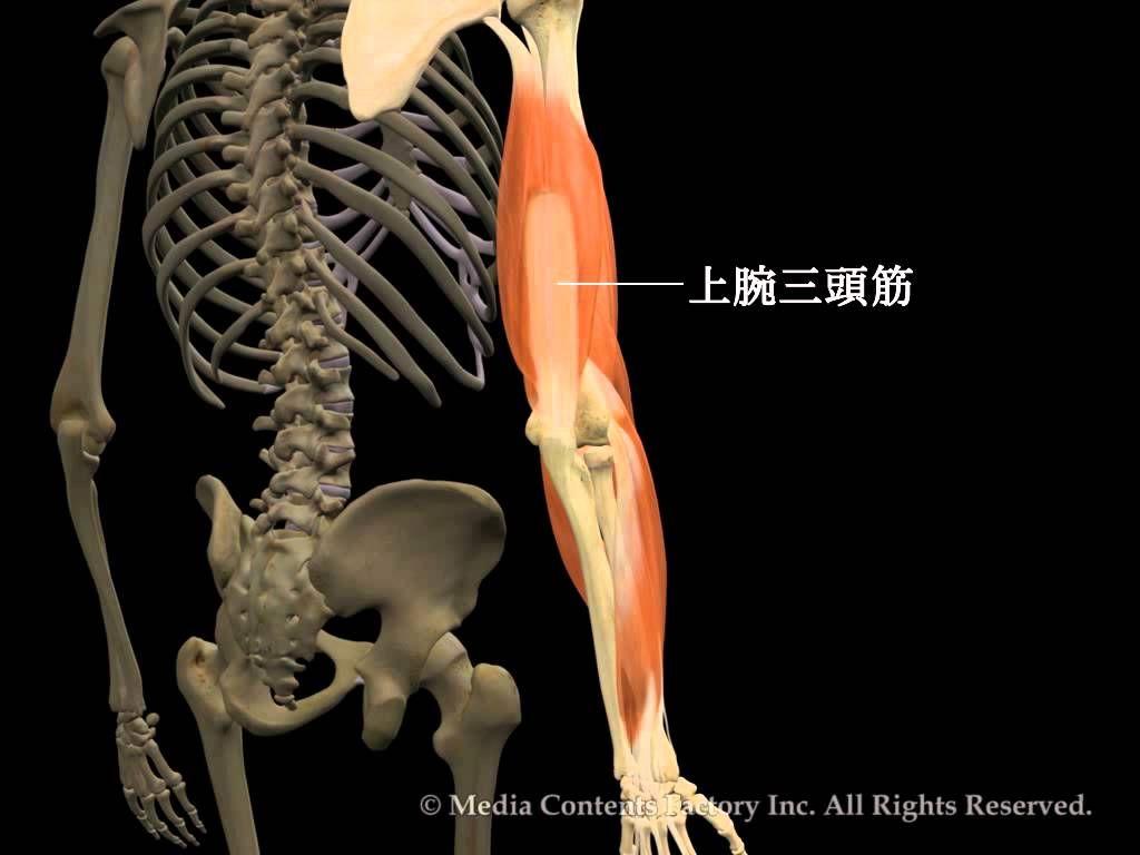 肘関節の骨と筋肉の動きを詳細にシミュレートした3D動画です。