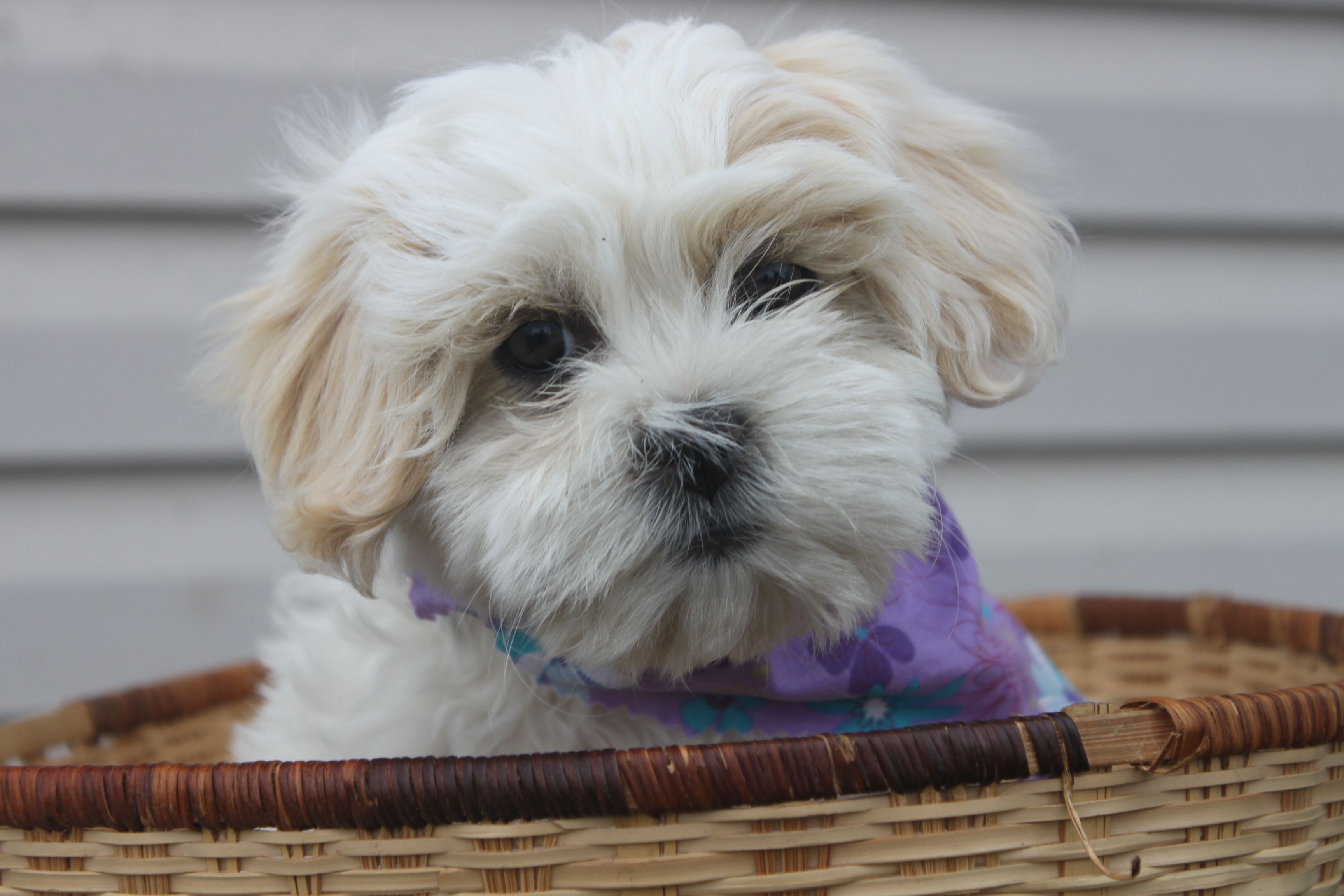 BichonShih tzu Puppies For Sale In Shippensburg