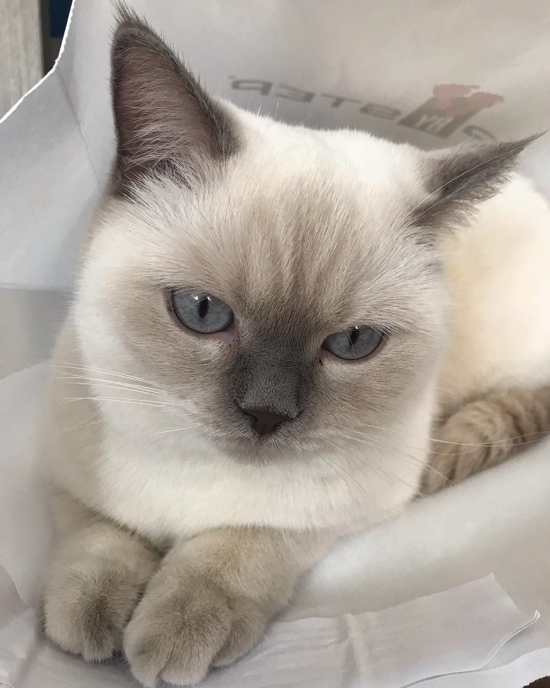 Alice Mix Breed British Shorthair And Scottish Fold Britishshorthair Scottishfold Cat Cats Of World Catphotography Whitecat Longhairedcat ᵔᴥᵔ