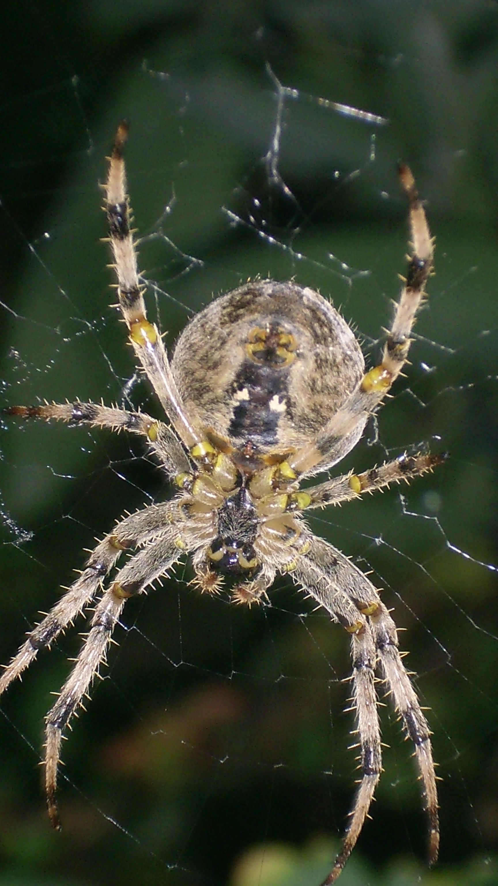 Garden Spider  -you are welcome!