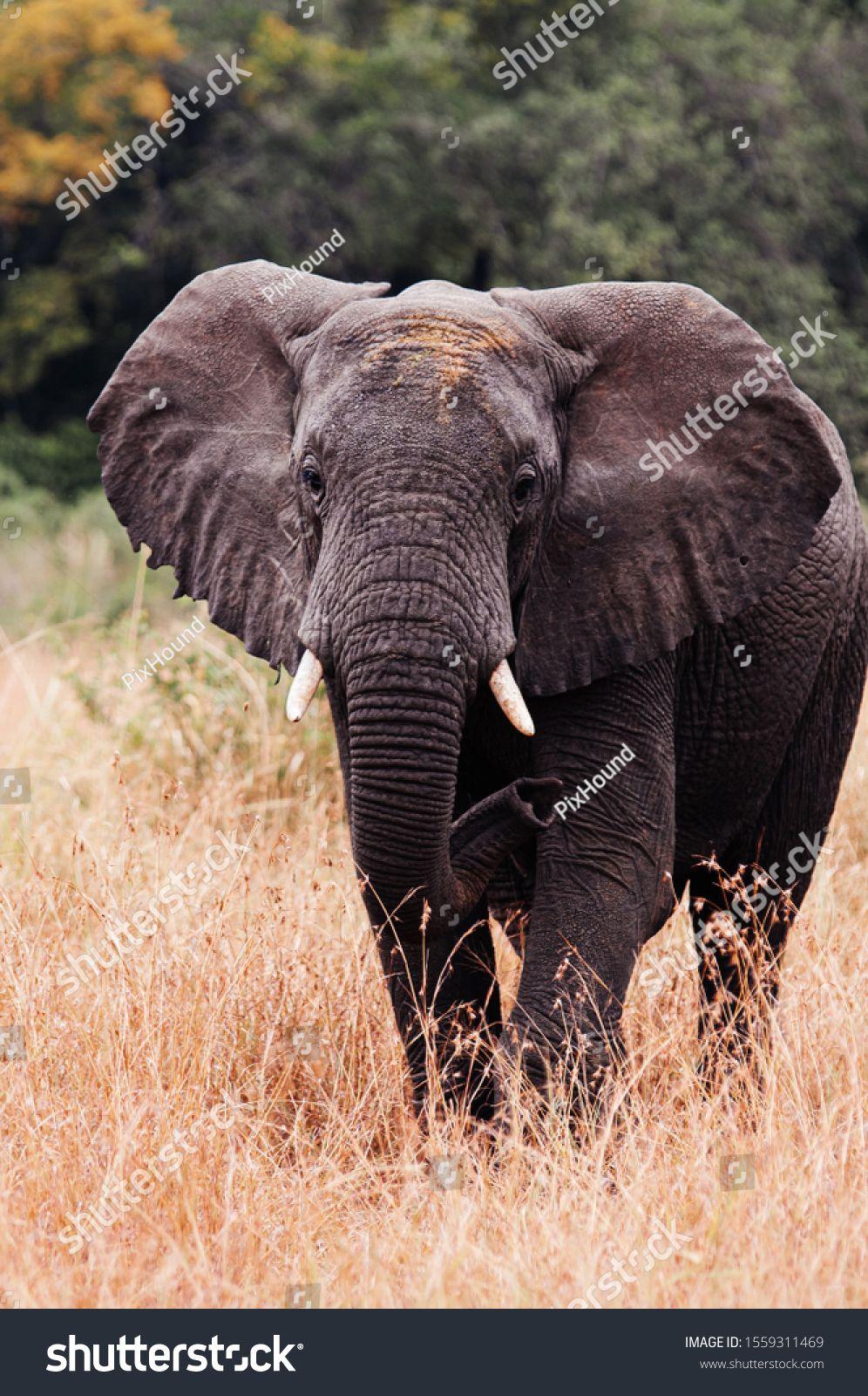 Large African Elephants in golden grass field in Grumeti reserve, Serengeti Savanna forest in Tanzania - African safari wildlife watching trip #Ad , #ad, #field#grass#reserve#Grumeti
