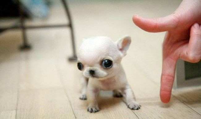 These 26 Tiny Puppies Are The Most Adorable Dogs You Ll Ever See
