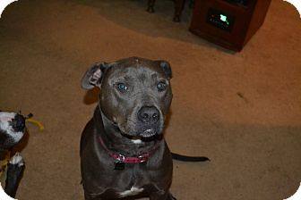 McKenna, WA - American Pit Bull Terrier. Meet Lilly, a dog for adoption. http://www.adoptapet.com/pet/17879517-mckenna-washington-american-pit-bull-terrier