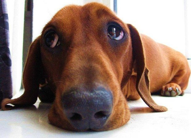 20 Things All Dachshund Owners Must Never Forget The Last One