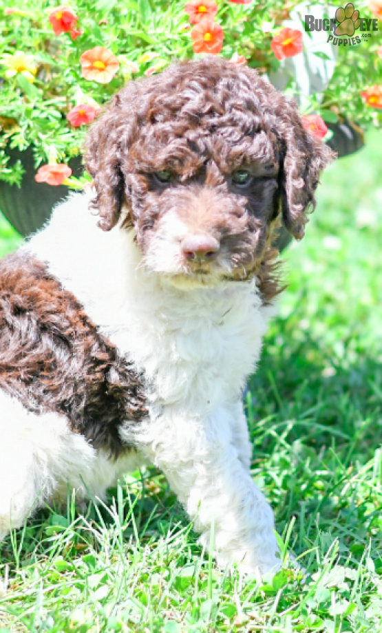 Adventurouslabradoodle Labradoodle Charming Puppiesofpinterest Pinterestpuppies Buckeyepuppies Labradoodle Puppy Labradoodle Puppies For Sale Labradoodle
