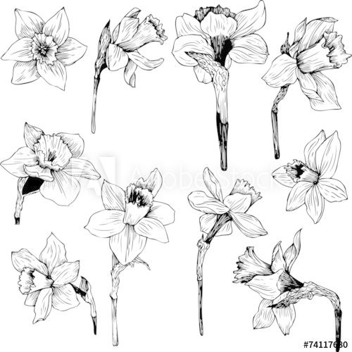 Set Of Line Drawing Narcissus Narcissus Tattoo Narcissus Flower Tattoos Birth Flower Tattoos