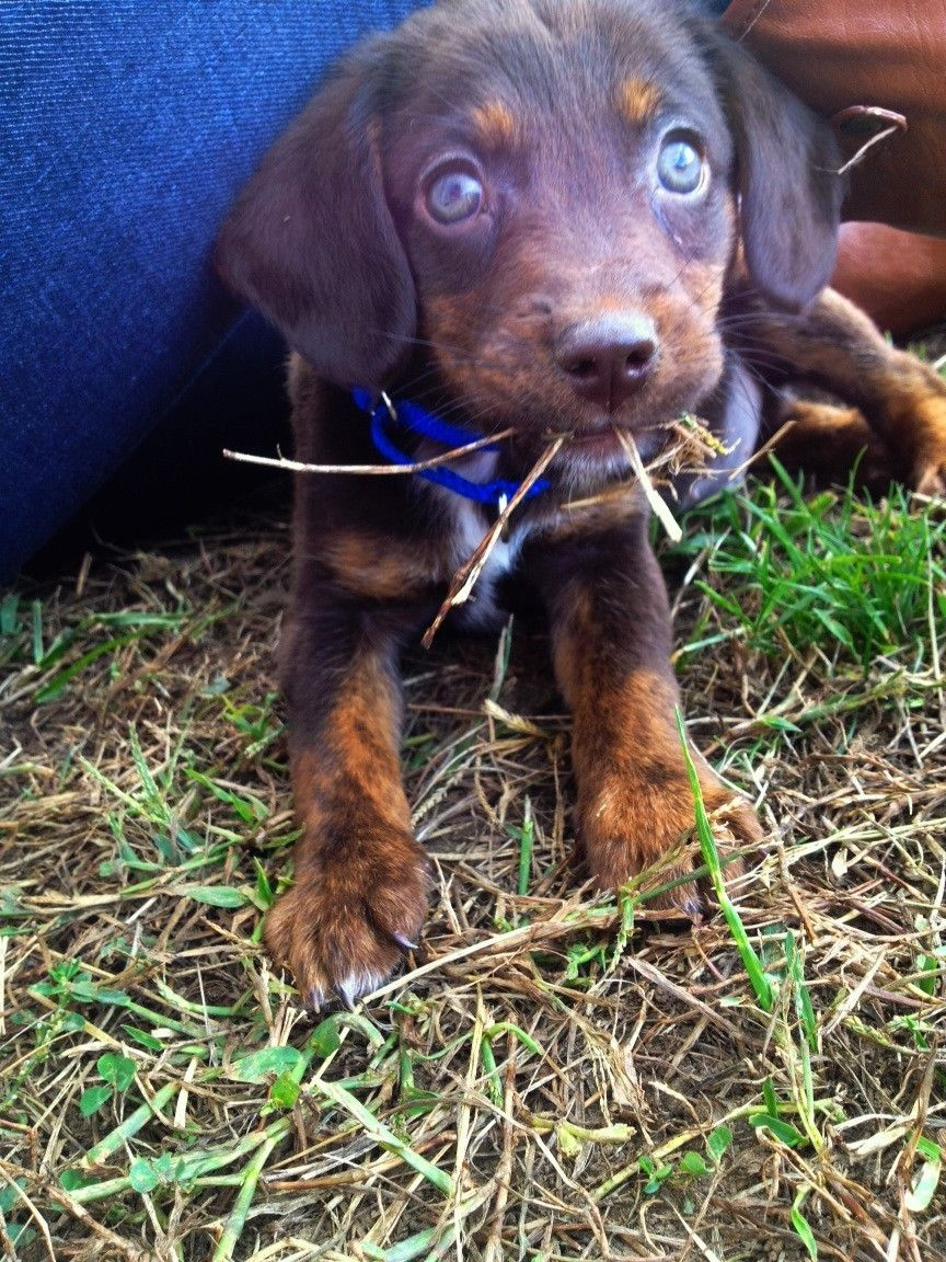 My Chocolate Lab/Rottie puppy eating grass. He goes by the name ...