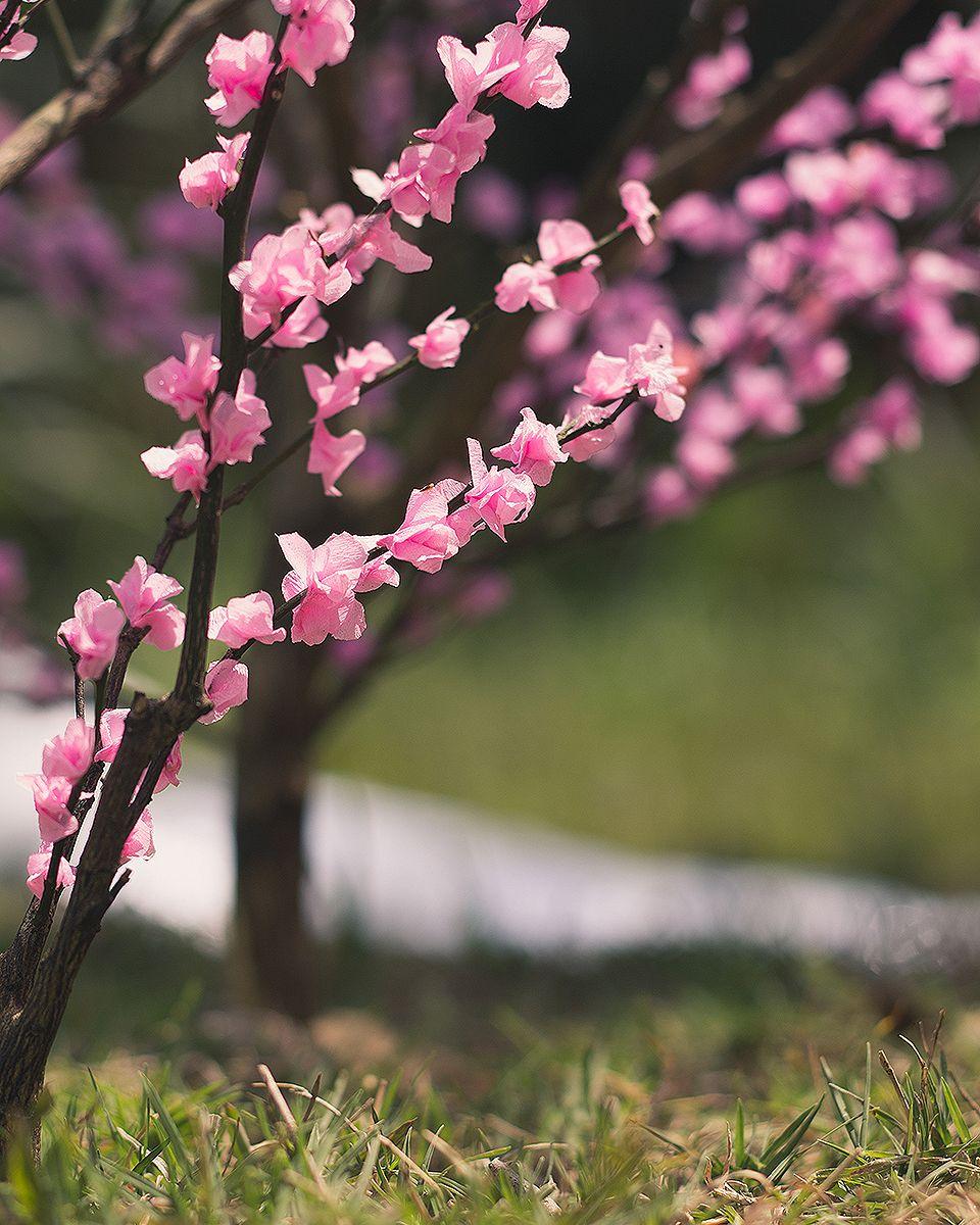 Video How To Make A Miniature Cherry Blossom Tree Kixkillradio Cherry Blossom Tree Blossom Trees Blossom