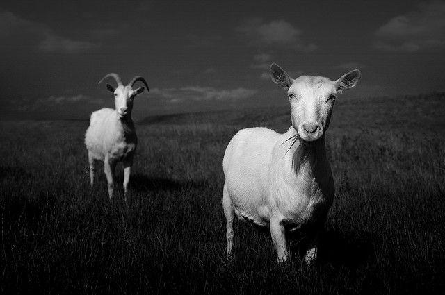 http://largerloves.tumblr.com/post/17711613365/valscrapbook-goat-2-by-chrisfriel-on-flickr