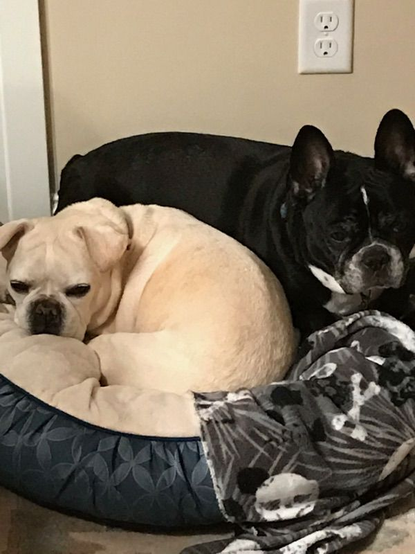 French Bulldog Dog For Adoption In Forest Lake Mn Adn 465093 On