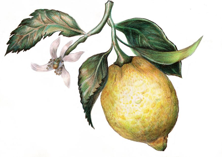 botanical drawings of lemons - Google Search