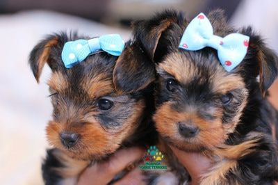 Available Yorkie Terrier Puppies, Yorkie Puppies For