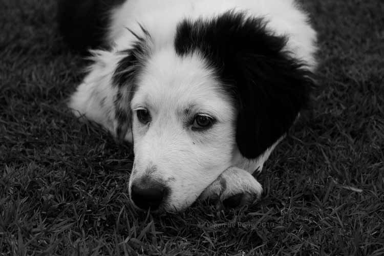 Border Collie Maremma Cross Doggy Puppies Pets
