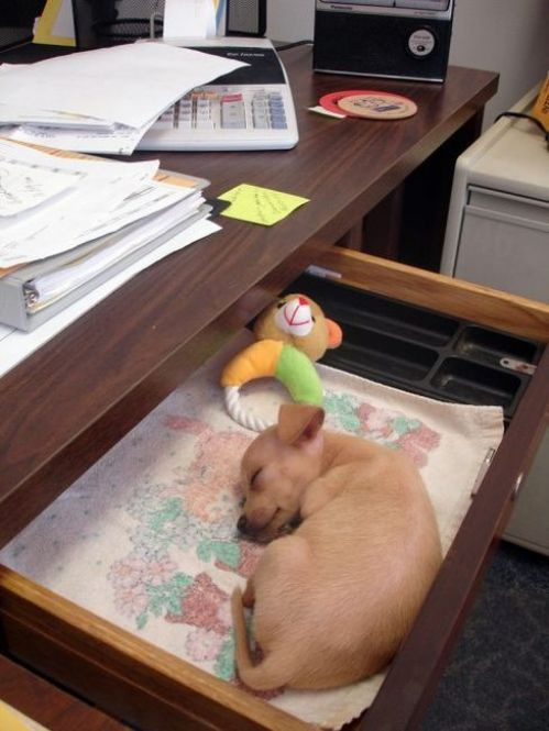 Office dog = completely necessary for my optimum productivity ( :