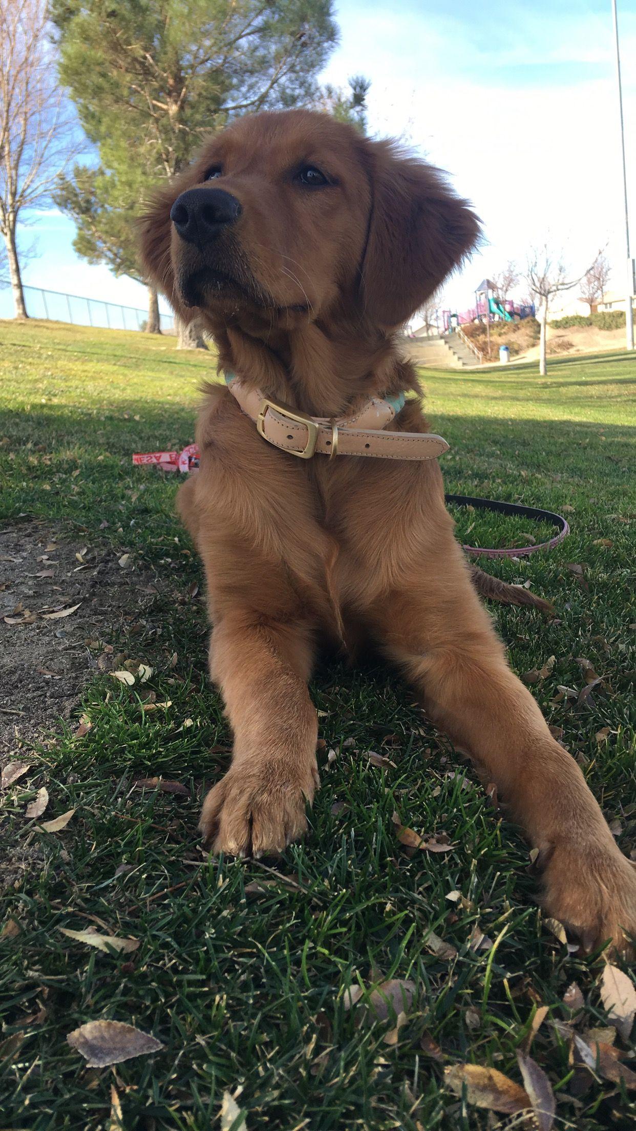 Ellie At 5 Months Goldenretriever Goldenretrieverpuppy