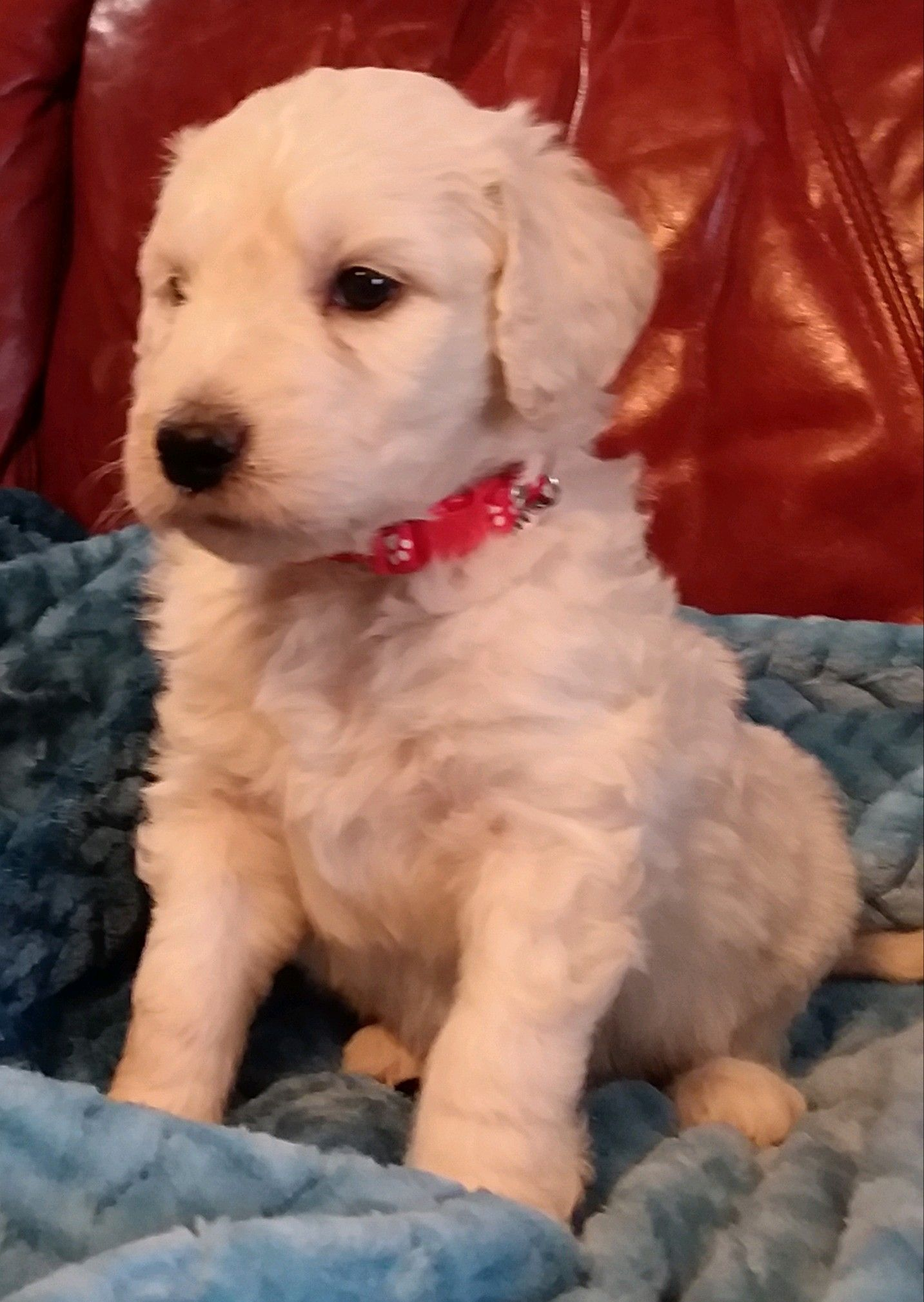 Gunner Ckc Goldendoodle Puppy For Sale In South Carolina