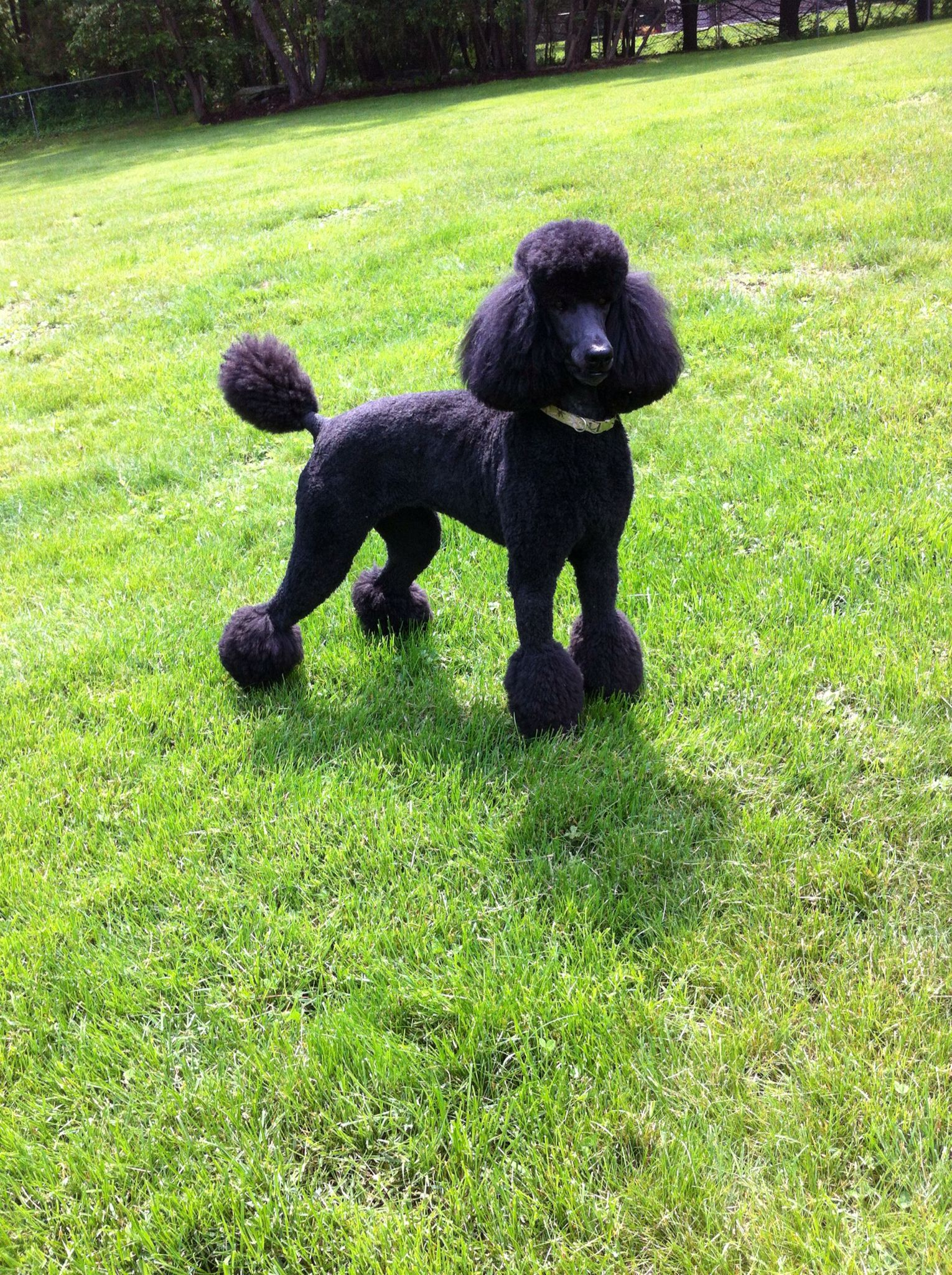 A Commanding Presence Dog Training Obedience Poodle Puppy