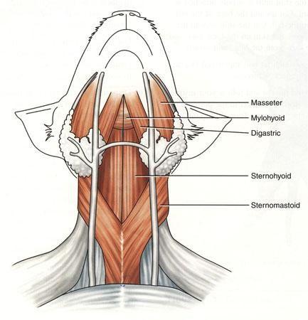 sternohyoid muscle cat wwwpixsharkcom images