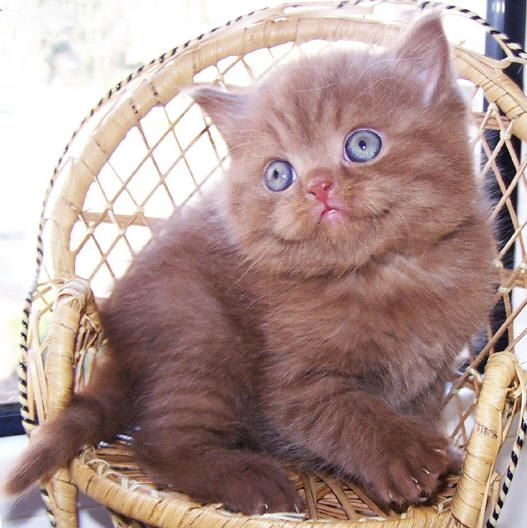 British Shorthair Cinnamon Cat. Purrrfect little angel