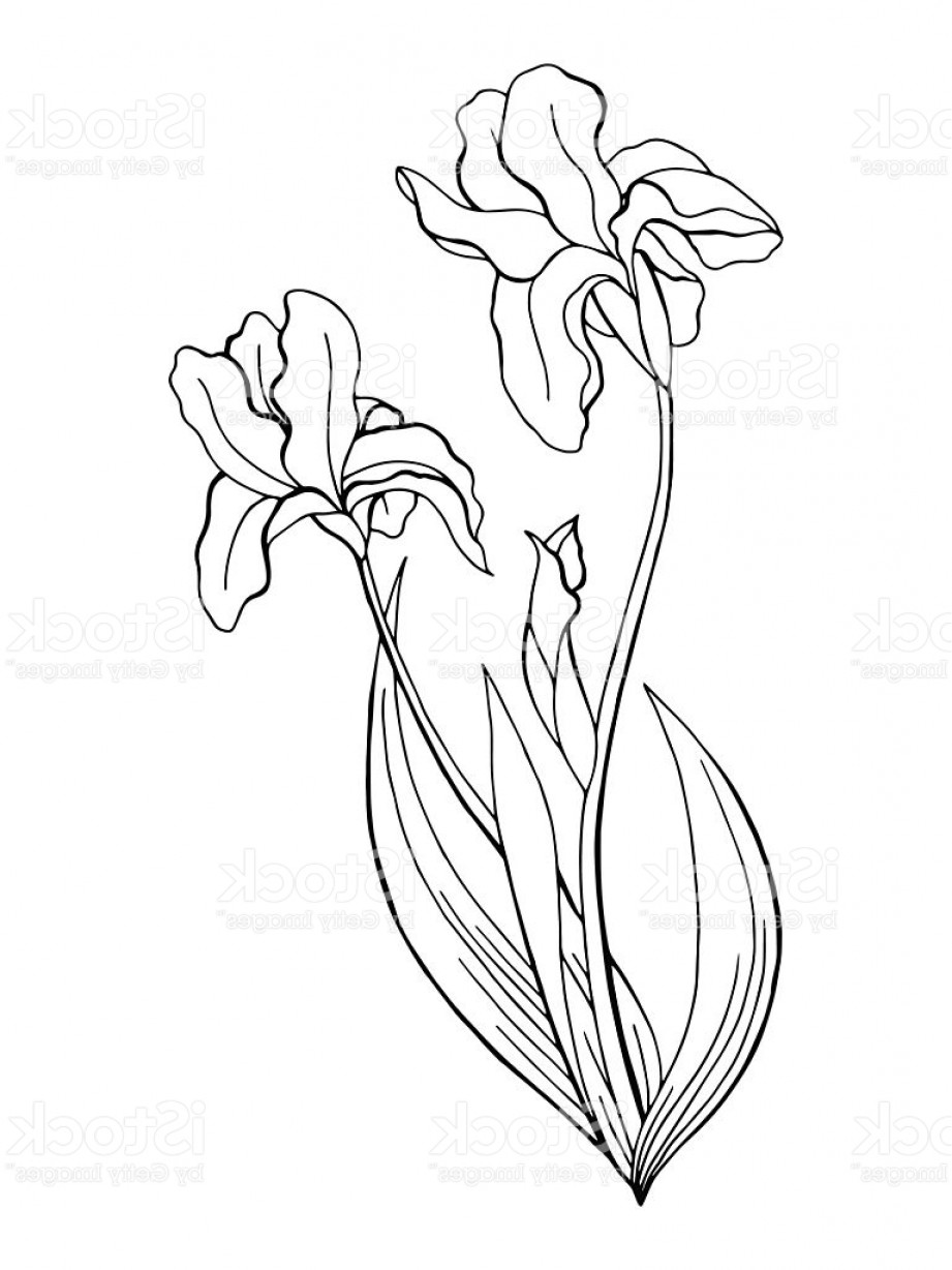Iris Flower Graphic Art Black White Isolated Illustration Vector Gm Createmepink With Images Flower Graphic Iris Drawing Iris Flowers