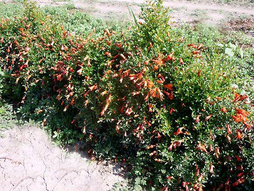 punica granatum nana bee 39 s plants pinterest plants. Black Bedroom Furniture Sets. Home Design Ideas