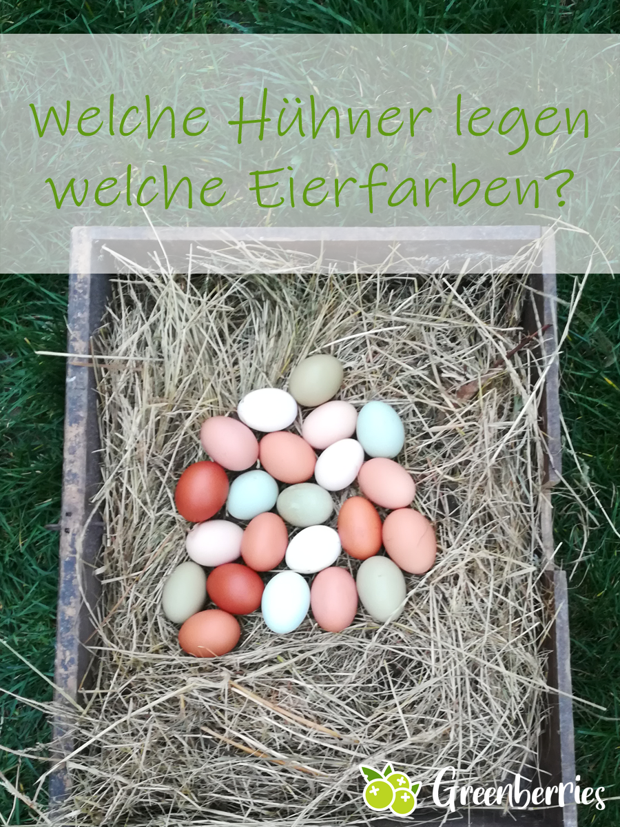 Welche Hühner Legen Blaue Eier