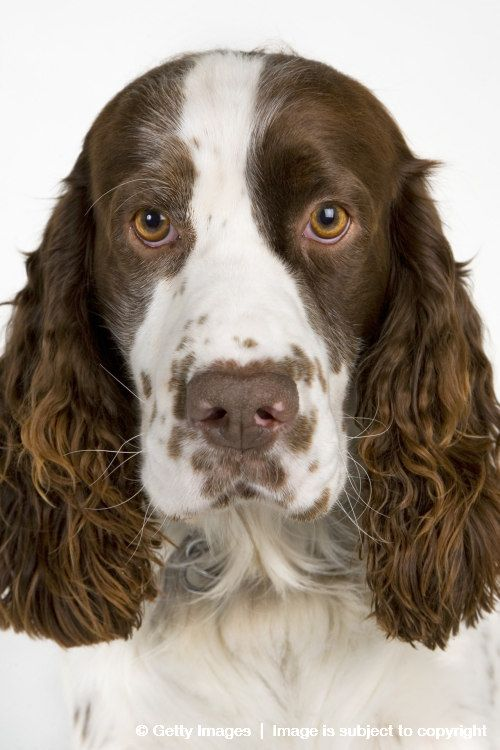 Springer Spaniel Yahoo Image Search Results Springer Spaniel Spaniel English Springer Spaniel