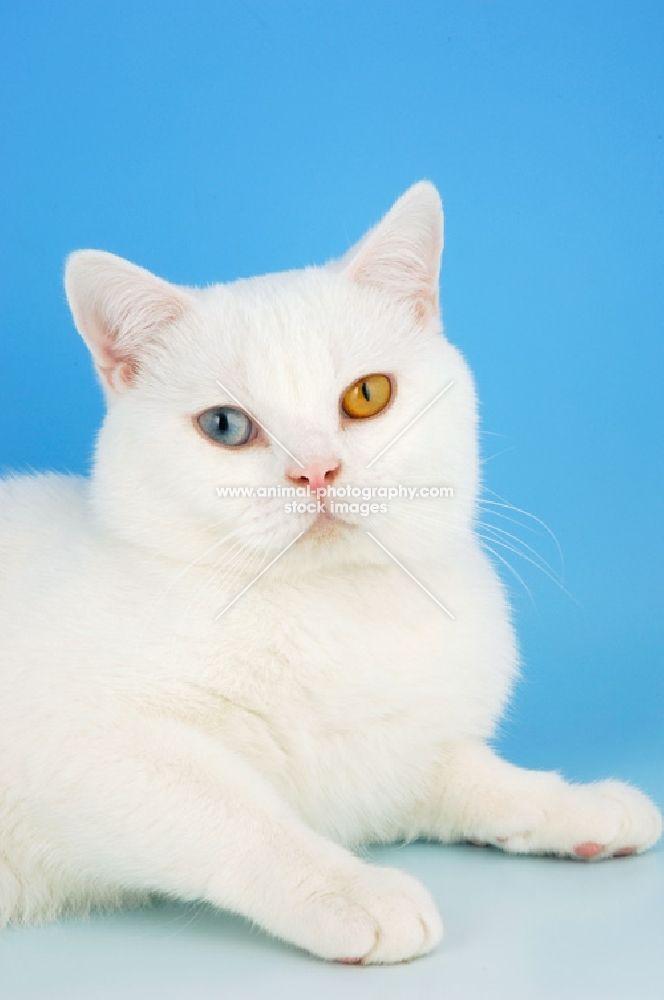 Odd Eyed White British Shorthair Lying Down British Shorthair