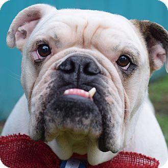 Denver Co English Bulldog Mix Meet Gino A Dog For Adoption