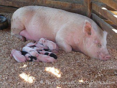 Centennial Farm At Oc Fairgrounds In Costa Mesa With Video