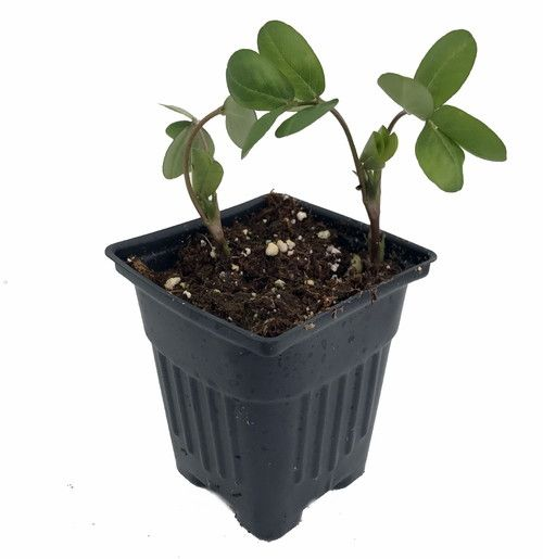 African Black Potted Peanut Plant Indoors Out Live Plant 3 5