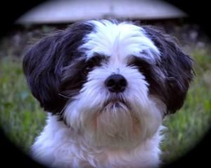 Dio is an adoptable Shih Tzu Dog in Indianapolis, IN.   I'm a playful 9 year old, 13 pound Shih Tzu mix boy. My foster parents are really proud of how much progress I've made and always tell me I am s...