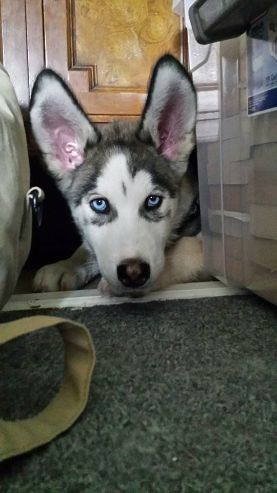 Siberian Husky Puppy With Adorably Large Ears Puppy Dog Eyes