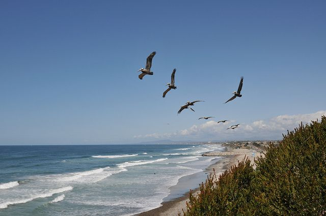 Birds flying along the beaches of Carlsbad